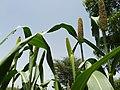 Grain millet 2.jpg