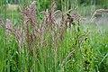 Gras, Keutschacher Moor, Kärnten.jpg