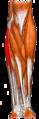 Gray — musculus flexor carpi ulnaris.png