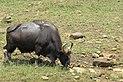 Grazing gaur bull in Periyar TR AJTJ IMG 5343.jpg