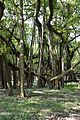 Great Banyan Tree - Indian Botanic Garden - Howrah 2012-09-20 0055.JPG