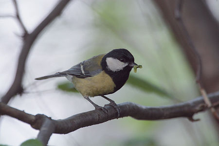 Great Tit Lodz(Poland)(js)06.jpg