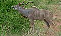 Greater Kudu (Tragelaphus strepsiceros) (6002017812).jpg