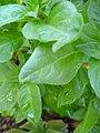 Green Basil.jpg