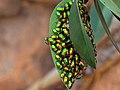 Green Jewel Bugs 8133.jpg