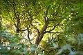 Green maple leaves (8201707080).jpg