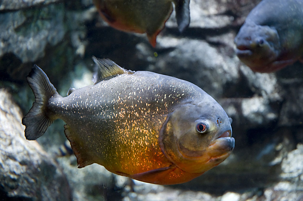 Top blogs my aquarium club for Most aggressive freshwater fish