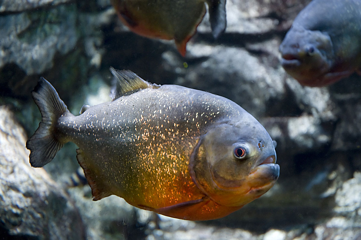 Red bellied piranha wikipedia for Pictures of piranha fish