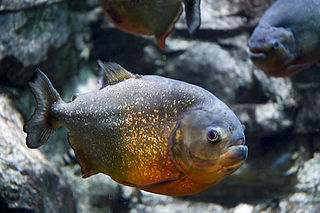 Red-bellied piranha species of fish