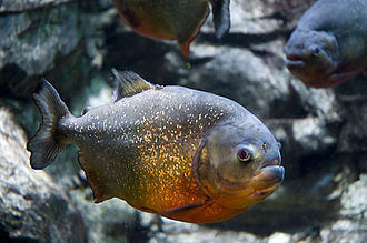 Amazon basin - Red-bellied piranha (Pygocentrus nattereri) is a species of piranha. This species lives in the Amazon River basin, coastal rivers of northeastern Brazil, and the basins of the Paraguay, Paraná and Essequibo Rivers.