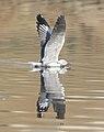 Grey-headed Gull, Chroicocephalus cirrocephalus, at Waterfall Estate, Gauteng, South Africa (35295449983).jpg