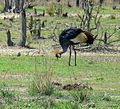 Grey Crowned Crane – Luangwa National Park - Zambia-10.jpg