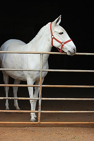 Mule - A grey mule