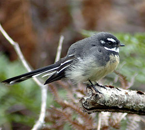 Māui (Māori mythology) - In some versions, small birds like the fantail accompanied Māui on his quest to win immortality for humankind.