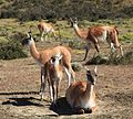 Guanaco herd near Torres del Paine National Park (5483767001).jpg