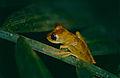 Gunther's Banded Treefrog (Hypsiboas fasciatus) (10364629344).jpg