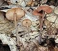 Gymnopus subnudus (Ellis ex Peck) Halling 772547.jpg