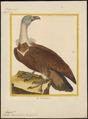 Gyps fulvus - 1700-1880 - Print - Iconographia Zoologica - Special Collections University of Amsterdam - UBA01 IZ18100061.tif