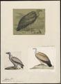 Gyps fulvus - 1700-1880 - Print - Iconographia Zoologica - Special Collections University of Amsterdam - UBA01 IZ18100071.tif