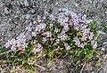 Gypssophila repens near Col de Coux (1).jpg