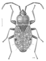 HEMI Rhyparochromidae Millerocorus ductus.png