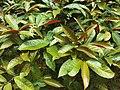 HKU 香港大學 PFL campus 薄扶林校園 red n green leaves 紅背桂花 Excoecaria cochinchinensis April 2019 SSG 01.jpg