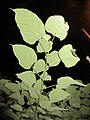 HK 上環 Sheung Wan night green plants 般咸道 Bonham Road November 2017 IX1 heart leaves 01.jpg