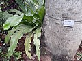 HK 中環 Central 香港動植物公園 Zoological and Botanical Gardens flora green leaves April 2020 SS2 79.jpg
