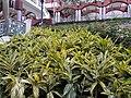 HK 半山區 Mid-levels 堅巷花園 Caine Lane Garden green leaves February 2020 SS2 13.jpg
