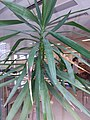 HK Mid-levels High Street clubhouse green leaves plant February 2019 SSG 78.jpg