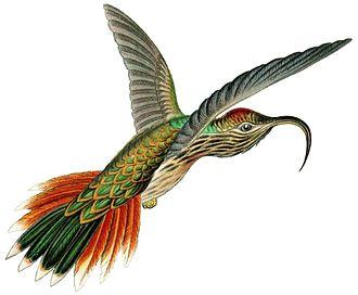 Eutoxeres - Buff-tailed sicklebill, Eutoxeres condamini