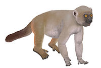 A giant lemur walks on all four feet, with a dark tail held low. The head has a short snout (for a lemur).
