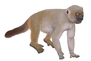 Monkey lemur - Life restoration of Hadropithecus stenognathus