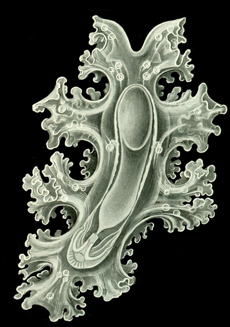 Haeckel Amphoridea-12