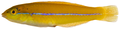 Halichoeres garnoti - pone.0010676.g115.png