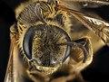 Halictus farinosus, F, Face, UT, Garfield County 2014-06-20-18.14.33 ZS PMax (21957080210).jpg