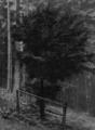 Harz-Berg-Kalender 1935 S.43 Eibenbaum am Iberg.png