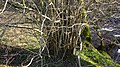 Hazel, Corylus avellana. Epicormic growth. River Ayr. Holehouse Holm, East Ayrshire.jpg