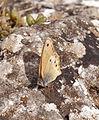Heath Butterfly (3836801847).jpg