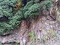 Hedera rhombea in Seonunsa 2.jpg