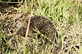 Hedgehog Walking.jpg