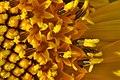 Helianthus annuus capitulum.jpg