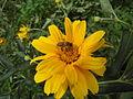 Helianthus flower with a bee in it.jpg