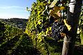 Herbstlicher Spaziergang durch die Becksteiner Weingärten. 12.jpg
