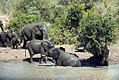 Herd of elephants at watering hole, Limpopo Province (6253219810).jpg