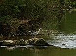 Heron-Albarine 03.jpg