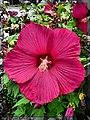 Hibiscus(1) - Flickr - pinemikey.jpg