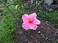 Hibiscus rosa sinensis hybrid-9-hanuman temple-muluvi-yercaud-salem-India.jpg