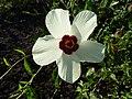 Hibiscus trionum, blom, e, Springbokvlakte.jpg
