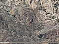 Himalayan Griffon (Gyps himalayensis) (32639779710).jpg